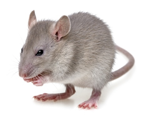 Mice Are Small Rodents With Relatively Large Ears And Black